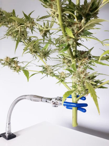 420 smart harveting trimming cannabis south africa