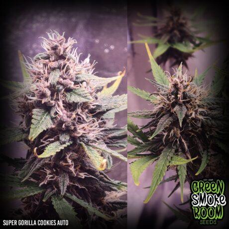 Cannabis Seeds South Africa